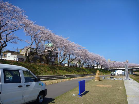 日曜の桜540.jpg